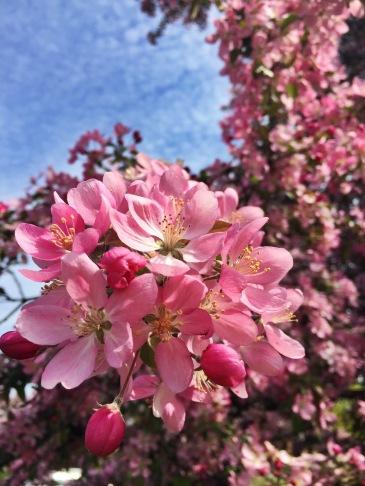 Ornamental Gardens Ottawa - Apple Blossoms