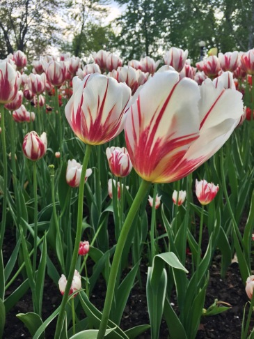 Ottawa Tulip Festival